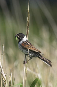 Reed Bunting © Simon Booth