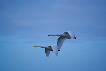 Whooper Swans © Simon Booth