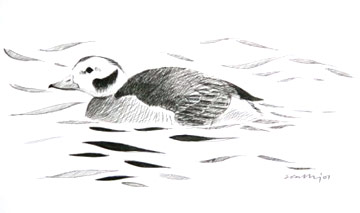 Long-tailed Duck © Ray Scally