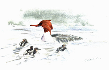 Goosander © Ray Scally