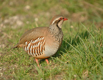 Red-legged Partridge © Sue & Andy Tranter