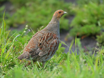 Grey Partridge © Steve Round