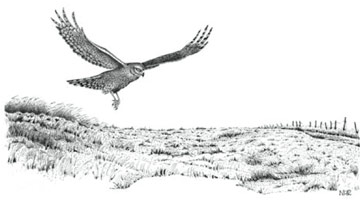 Hen Harrier © Norman Richardson