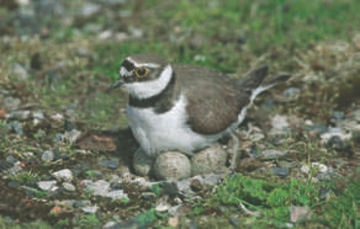 Little Ringed Plover © David Platt
