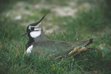 Lapwing © Simon Booth
