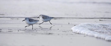 Sanderling © Richard Steel