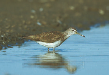 Green Sandpiper © Andy Harmer