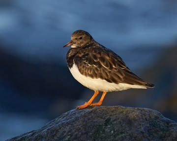 Turnstone © Richard Steel