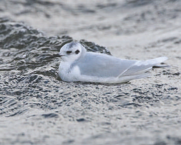 Little Gull © Richard Steel