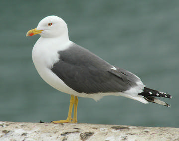 Lesser Black-backed Gull © Mike Atkinson