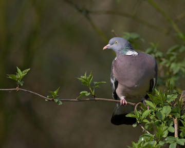 Woodpigeon © Richard Steel