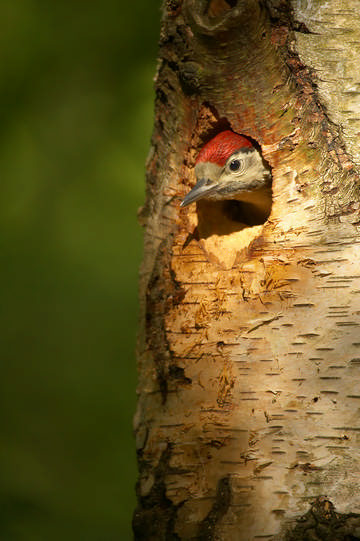 Great Spotted Woodpecker © Carolyn Chase