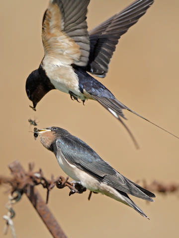 Swallow © Steve Round