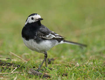 Pied Wagtail © Sue & Andy Tranter