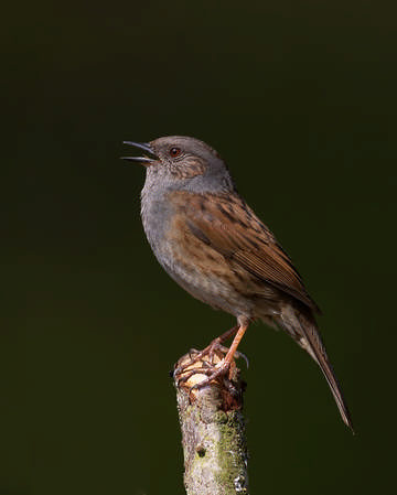 Dunnock © Richard Steel