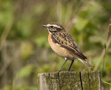 Whinchat © Sue & Andy Tranter