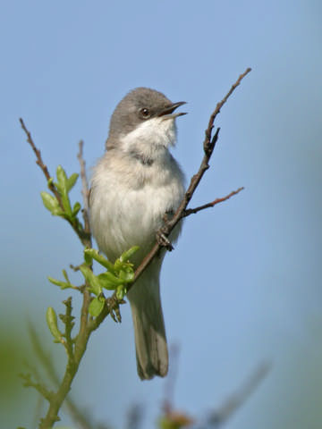 Lesser Whitethroat © Steve Round