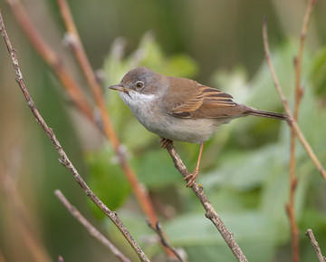 Whitethroat © Richard Steel