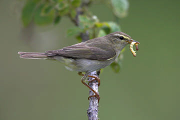 Willow Warbler © Simon Booth