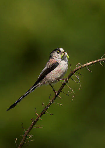 Long-tailed Tit © Sue & Andy Tranter