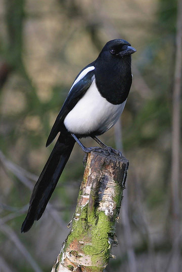 Magpie © Colin Smith