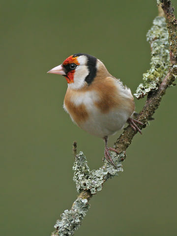 Goldfinch © Steve Round