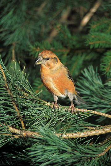 Crossbill © Peter Smith