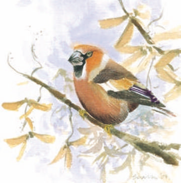 Hawfinch © Ray Scally